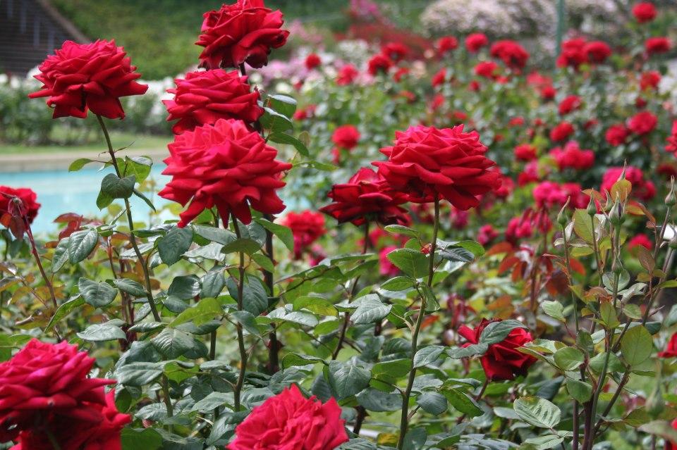 Плетистая роза перенниал блю 5