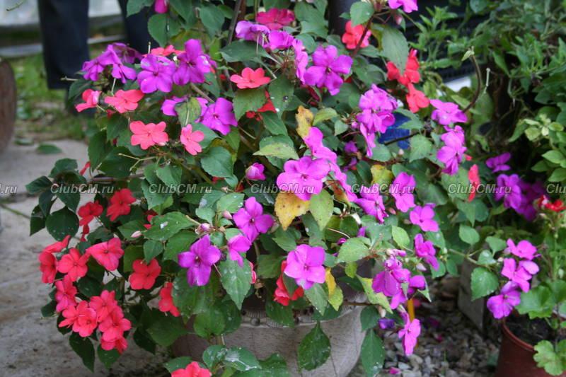 Однолетние цветы для дачи цветущие все лето: фото и названия