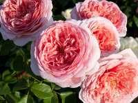 Розы остина заказы растений клуба цветоводы москвы смешные стихи про подарок жене