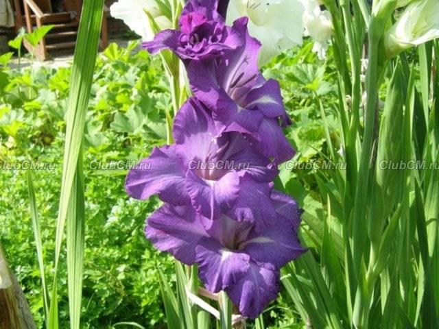 Гладиолусы. лучшие цветов гладиолуса