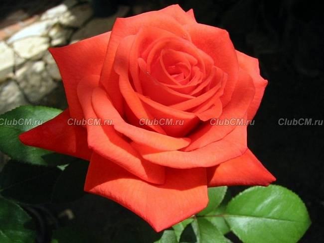 Самые красивые розы описание