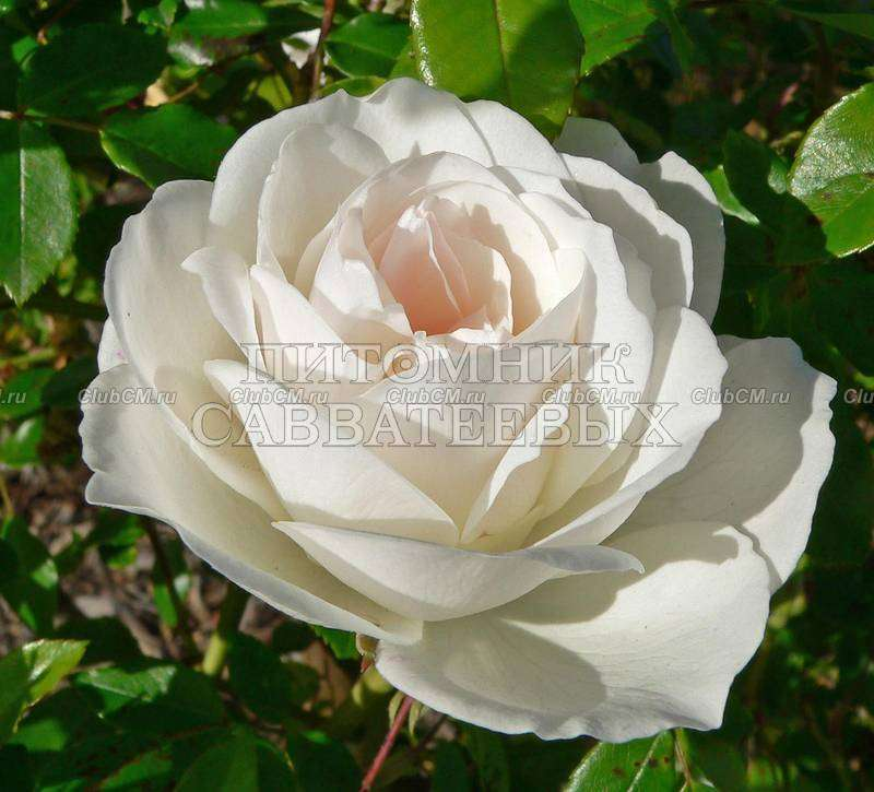 Роза плетистая iceberg 5